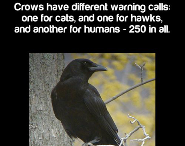 Deal With the Crows Yourself How to Get Rid of Them – Get